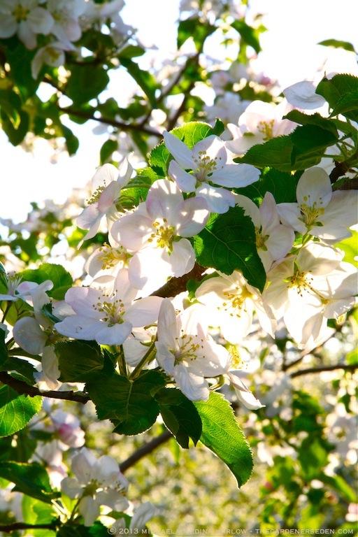Heirloom_Apple_Blossoms_at_Scott_Farm_Vermont_michaela_medina_harlow_thegardenerseden
