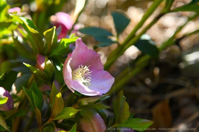 Helleborus x hybridus 'Royal Heritage Strain' s