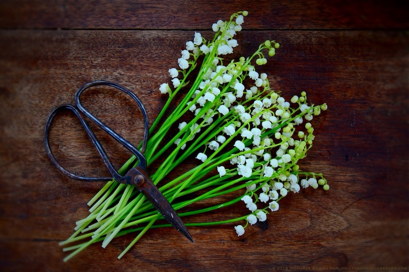 Lily-of-the-Valley_Convallaria_ majalis_and_Shears_michaela_medina_harlow_thegardenerseden.com