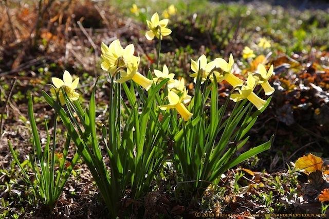 Narcissus_cyclamineus_'Lemon_Silk'_michaela_medina_harlow_thegardenerseden.com