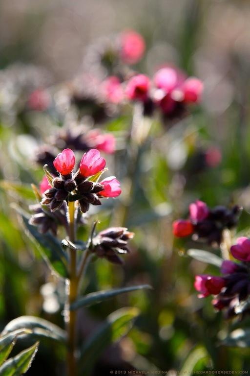 Pulmonaria_longifolia_ 'Raspberry Splash'_michaela_medina_harlow_thegardenerseden.com