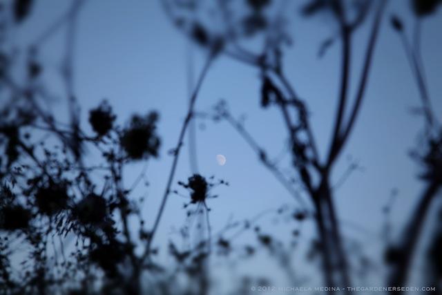 Queen-Annes-Moon-ⓒ-2012-michaela-medina-thegardenerseden.com-