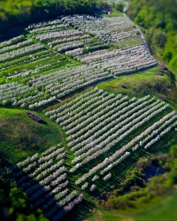 Scott_Farm_Orchard_Apple_Blossom_Aerial_2013_Michaela_Medina_Harlow_thegardenerseden.com