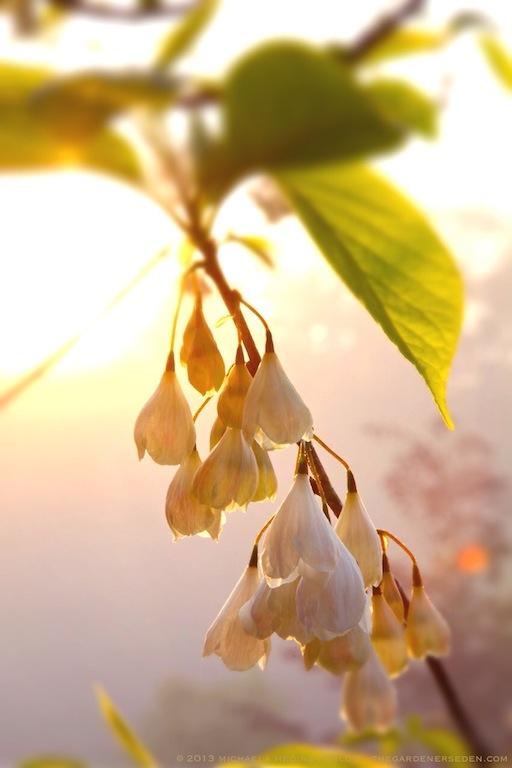 Sunrise_Silverbells_(Halesia_tetraptera)_Michaela_Medina_Harlow_thegardenerseden.com