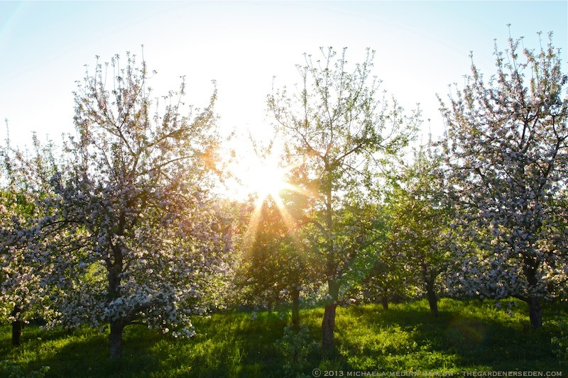 Sunset_in_the_Heirloom_Apple_Orchard_at_Scott_Farm_Vermont_smallJPEG_michaela_medina_harlow_thegardenerseden