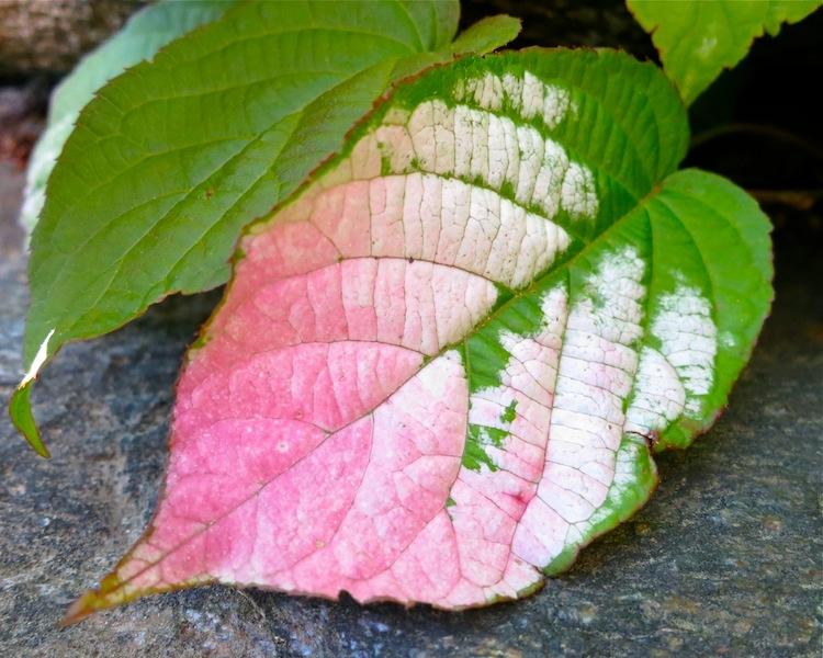 Actinidia kolomikta leaf - michaela medina harlow - thegardenerseden.com