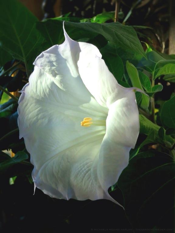 Angels_Trumpet_Datura_in_Bloom_(Datura_meteloides)_michaela_medina_harlow_thegardenerseden.com