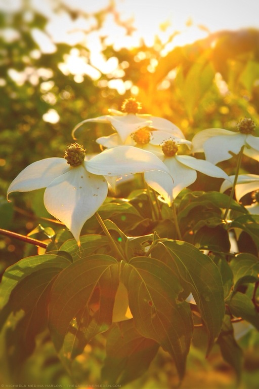 Cornus kousa - Sunlit Bracts and Blossoms - michaela medina harlow - thegardenerseden.com