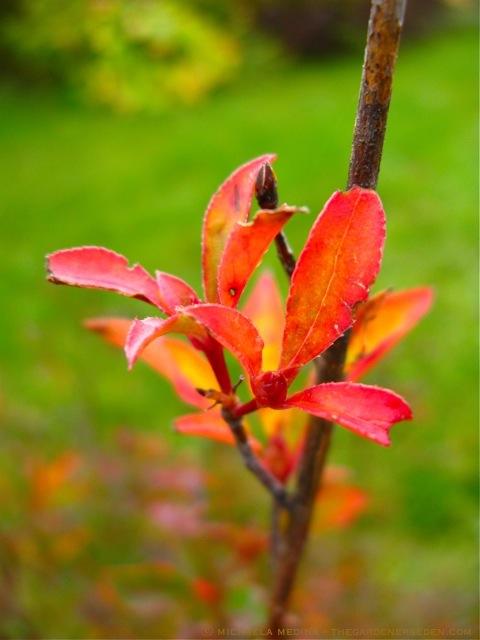Enkianthus_campanulatas-Red-Bells-leaf-ⓒ-michaela-medina-thegardenerseden1