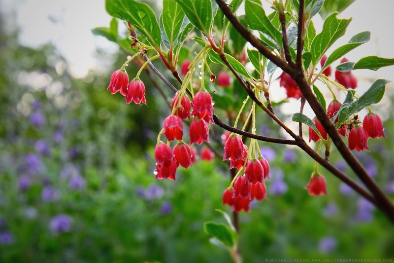 Enkianthus_campanulatus_'Red_Bells'_with_Baptisia_australis_in_June_Rain_michaela_medina_harlow_thegardenerseden.com