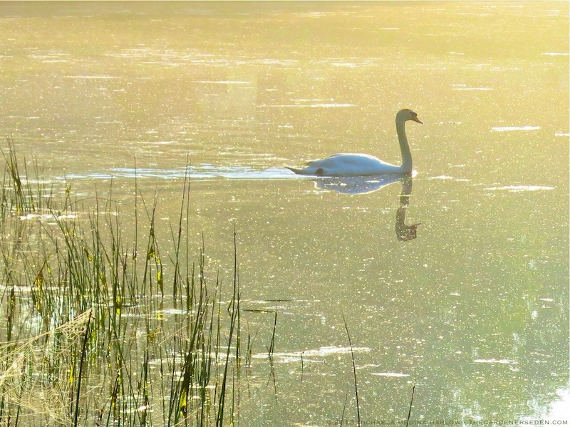 Swan_in_Golden_ Light_michaela_medina_harlow_thegardenerseden.com