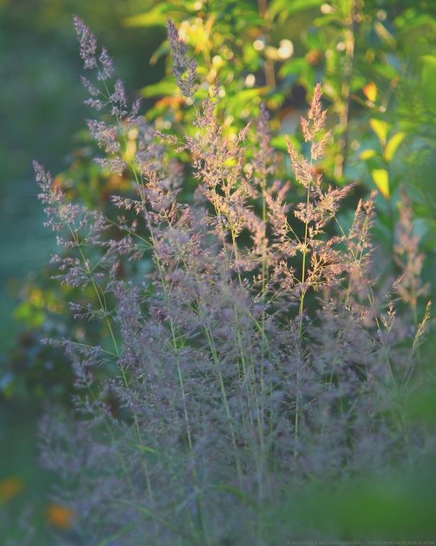 Calamagrostis x acutiflora 'Karl Foerster' in July - michaela medina harlow - thegardenerseden.com