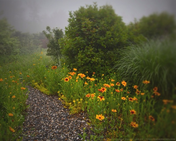 Foggy July Morning Along the Wildflower Walk - michaela medina harlow - thegardenerseden.com