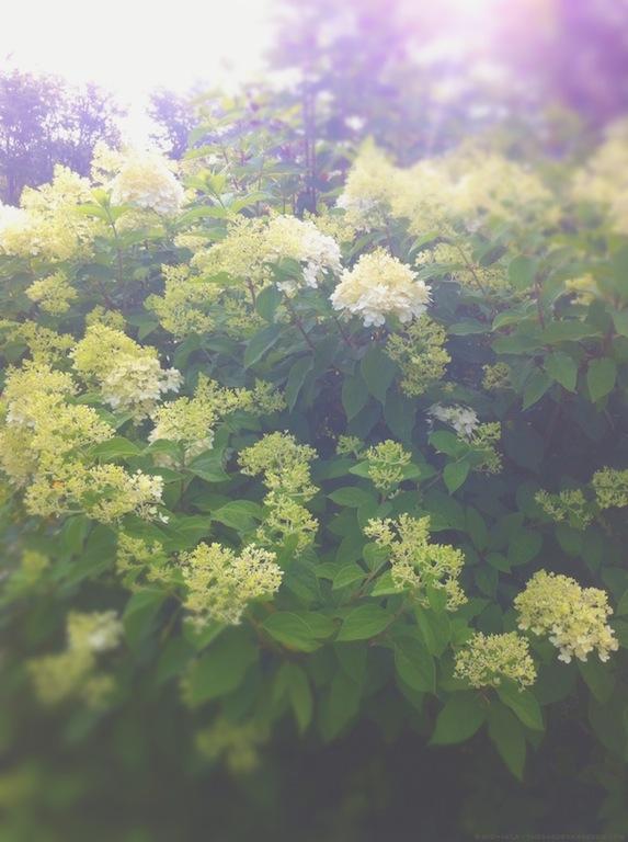 Hydrangea paniculata 'Limelight' - michaela medina harlow - thegardenerseden.com
