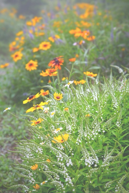 Lysmachia clethroides and Rudbeckia hirta Duke it Out in the Entry Garden - michaela medina harlow - thegardenerseden.com