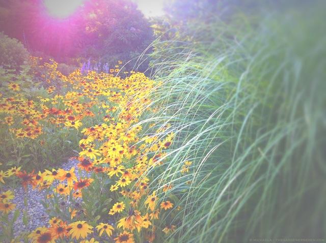 Maiden Grass and Rudbeckia - michaela medina harlow - thegardenerseden.com