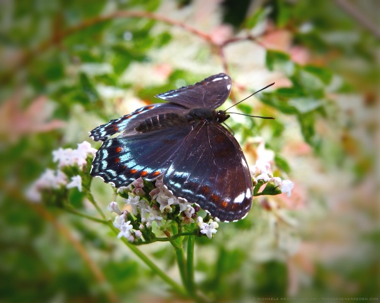 Red-Spotted Purple Butterfly on Valeriana officinalis with Salix integra 'Hakuro Nishiki' - michaela medina harlow - thegardenerseden.com