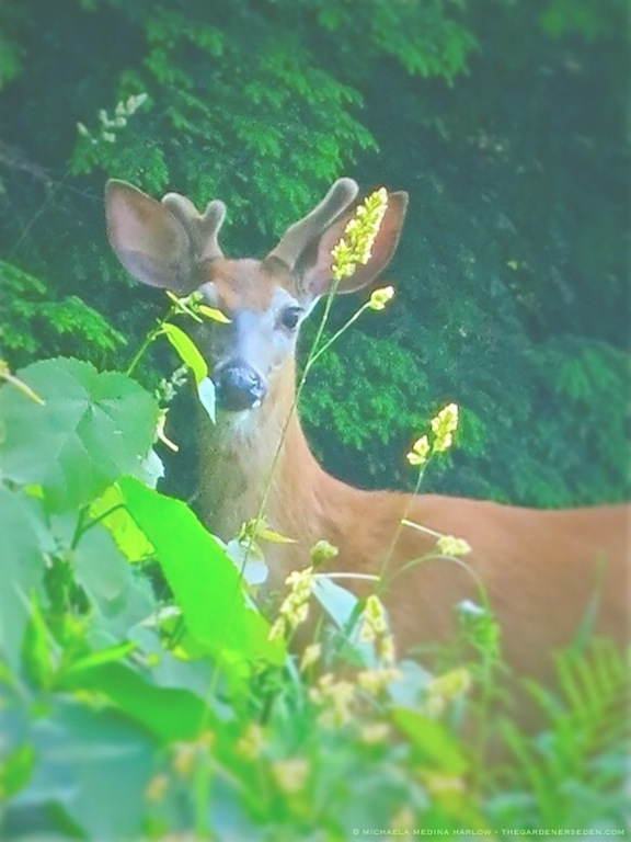 White Tailed Deer - michaela medina harlow- thegardenerseden.com