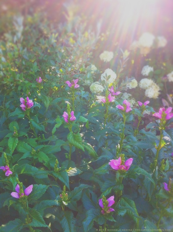 Chelone lyonii 'Hot Lips' with Hydrangea paniculata 'Limelight' - michaela medina harlow - thegardenerseden.com
