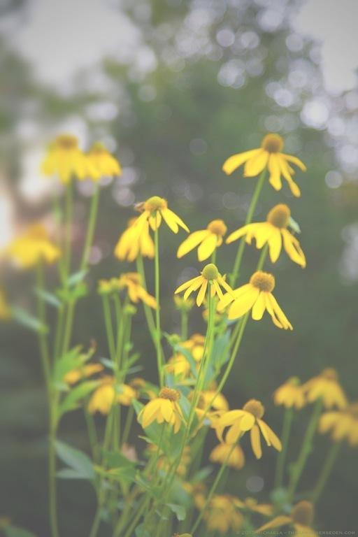 Cutleaf Coneflower (Rudbeckia laciniata) - michaela medina harlow - thegardenerseden.com
