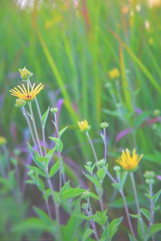 Henry Eilers Sweet Coneflower (Rudbeckia subtomentosa 'Henry Eilers') - michaela medina harlow - thegardenerseden.com