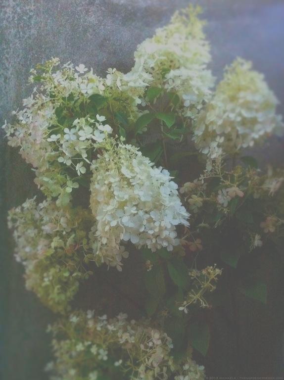 Hydrangea paniculata 'Bobo' - michaela medina harlow - thegardenerseden.com