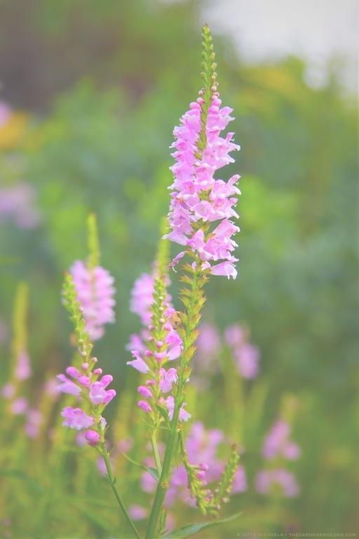 Obedient Plant (Physostegia virginiana) - michaela medina harlow - thegardenerseden.com