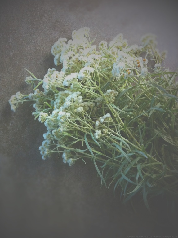 Pearly Everlasting (Anaphalis margaritacea) - michaela medina harlow - thegardenerseden.com