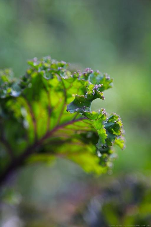 Young Redbor Kale Leaf - michaela medina harlow - thegardenerseden.com