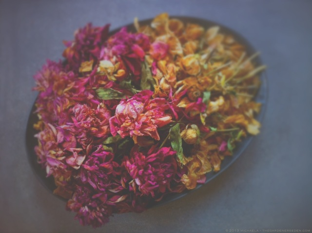 dried peony petals two - michaela medina - thegardenerseden.com