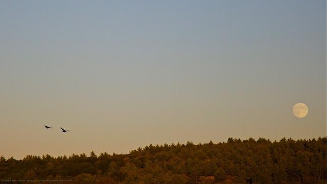 Canada Geese and Harvest Moon - michaela medina harlow - thegardenerseden.com