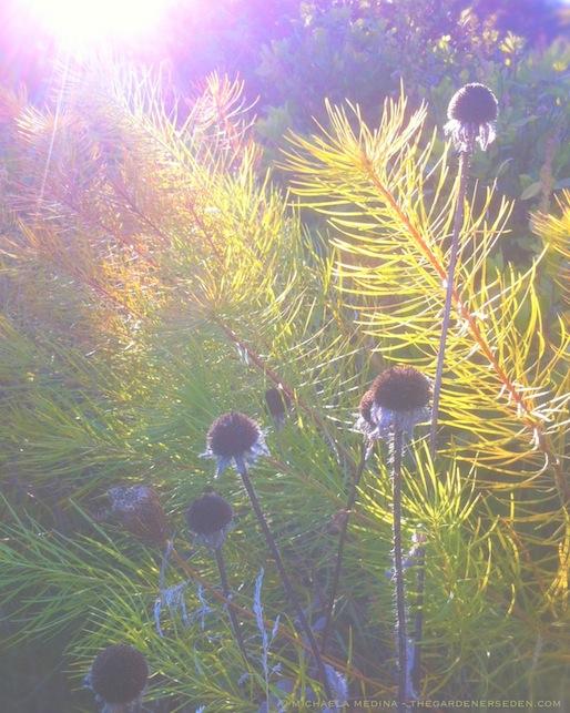 Golden Amsonia hubrichtii & Blackened Seedpods of Rudbeckia hirta - michaela medina harlow - thegardenerseden.com