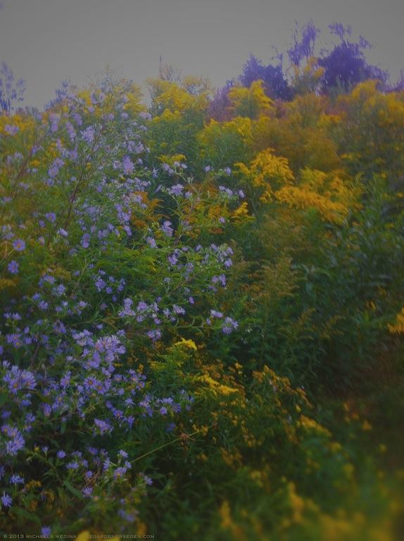 Late Summer Meadow Beauties - Asteracea and Solidago - michaela medina harlow - thegardenerseden.com