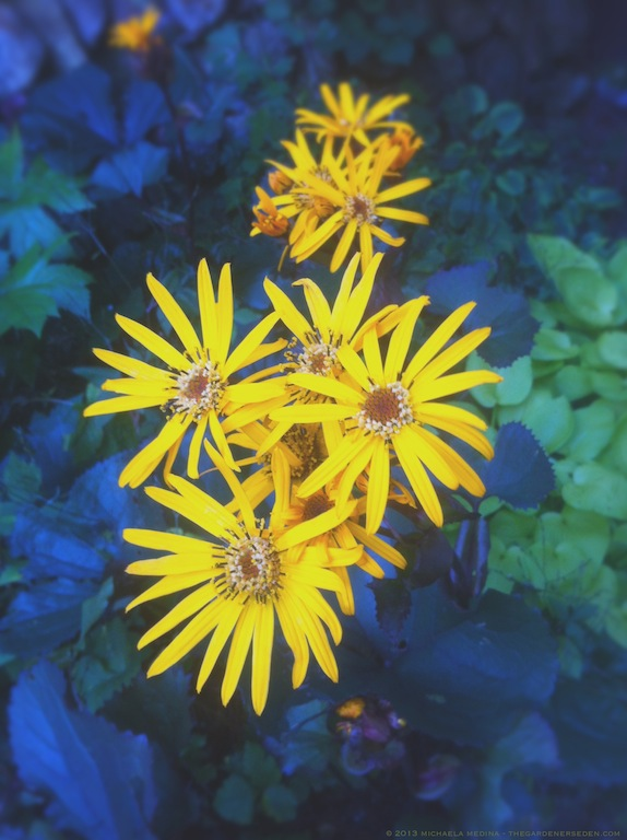 Ligularia dentata 'Britt-Marie Crawford' - michaela medina harlow - thegardenerseden.com