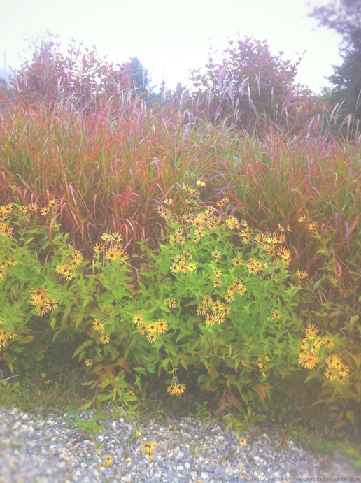Miscanthus sinensis purpurascens & Rudbeckia subtomentosa 'Henry Eiler's' in September - michaela medina harlow - thegardenerseden.com