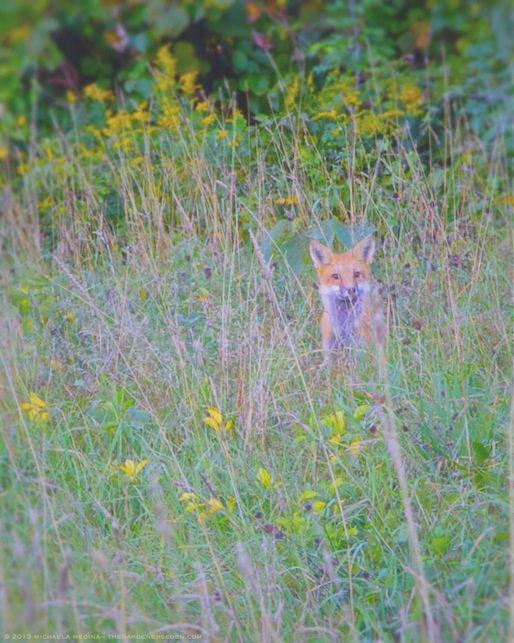 Red Fox in Meadow - michaela medina harlow - thegardenerseden.com