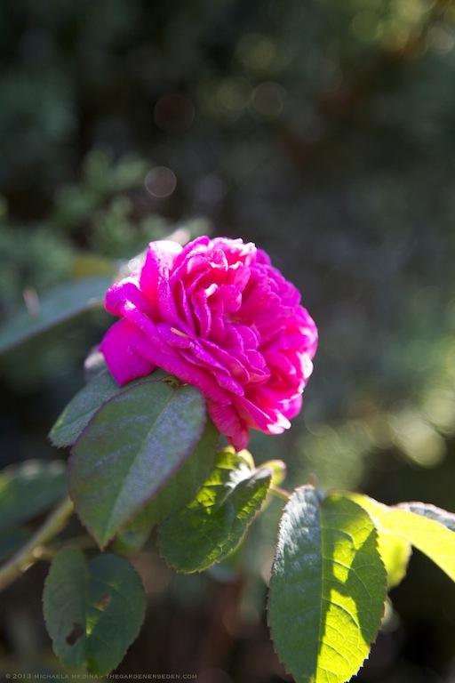 Rosa de Rescht - michaela medina harlow - thegardenerseden.com