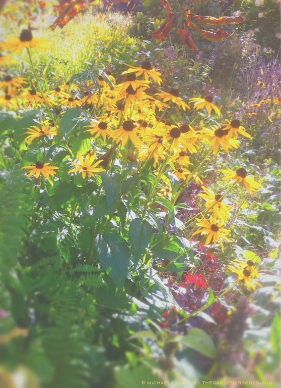 Rudbeckia fulgida 'Goldsturm' - michaela medina harlow - thegardenerseden.com