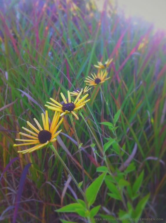 Rudbeckia subtomentosa 'Henry Eiler's' Coneflower - michaela medina harlow - thegardenerseden.com