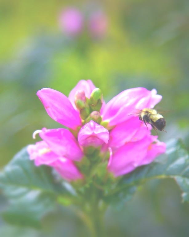 Turtlehead - Chelone lyonii 'Hot Lips' with Bumblebee - michaela medina harlow - thegardenerseden.com