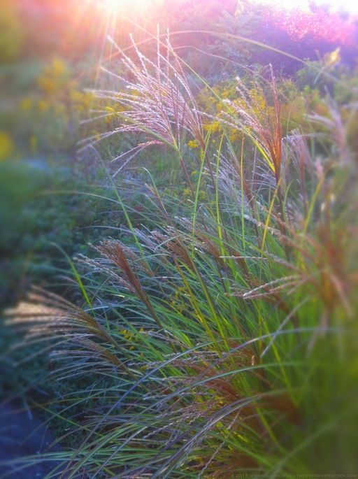 Miscanthus sinensis in October Light - michaela medina harlow - thegardenerseden.com