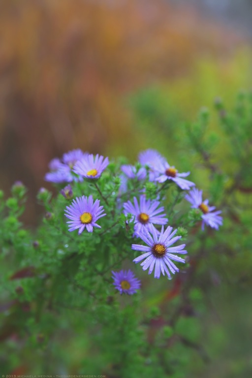 Raydon's Favorite Aster with Amsonia and Flame Grass - michaela medina harlow - thegardenerseden.com