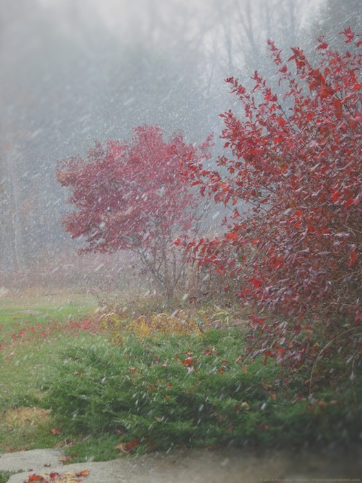 Autumn Leaves and Snow - michaela medina harlow - thegardenerseden.com