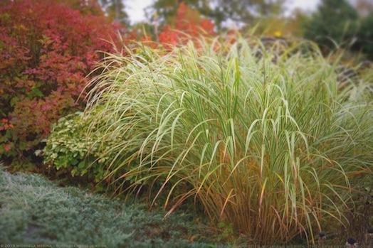 Miscanthus sinensis in the Entry Garden - michaela medina harlow - thegardenerseden.comJPG