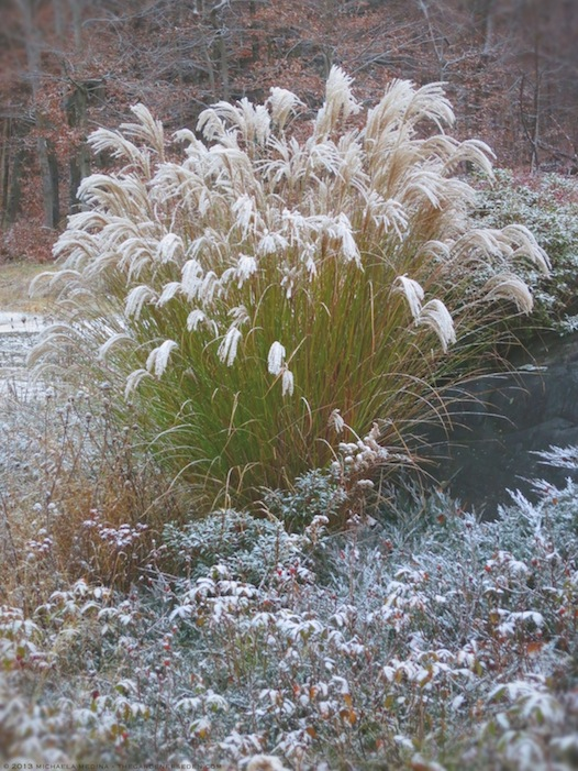 Snow-Dusted Maiden Grass (Miscanthus sinensis 'Morning Light') - michaela medina harlow - thegardenerseden.com