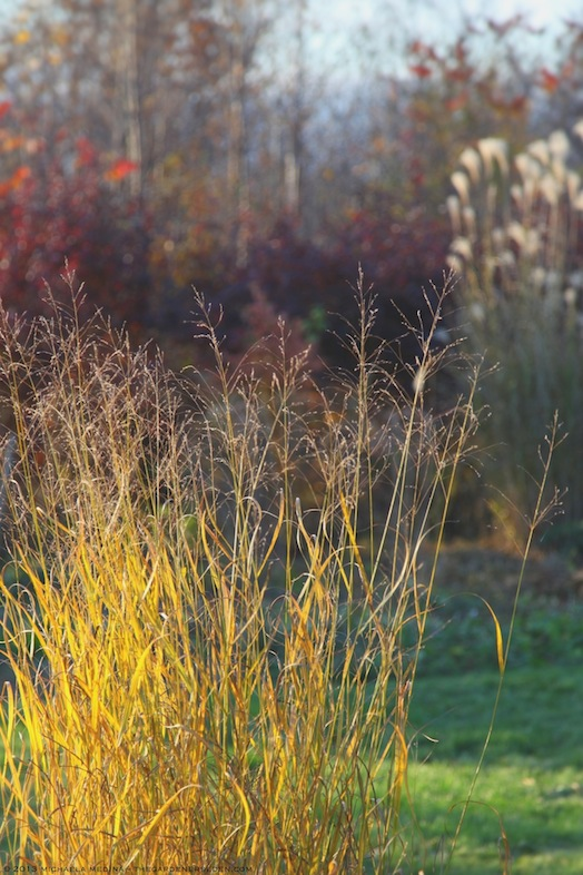 Switch Grass Turns Gold (Panicum virgatum 'Heavy Metal') - michaela medina harlow - thegardenerseden.com