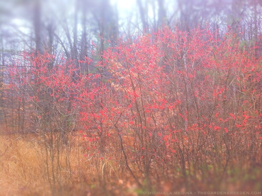 Winterberry (Ilex verticillata) - michaela medina harlow - thegardenerseden.com
