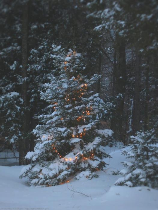 Oh Christmas Tree - Michaela Medina Harlow - thegardenerseden.com
