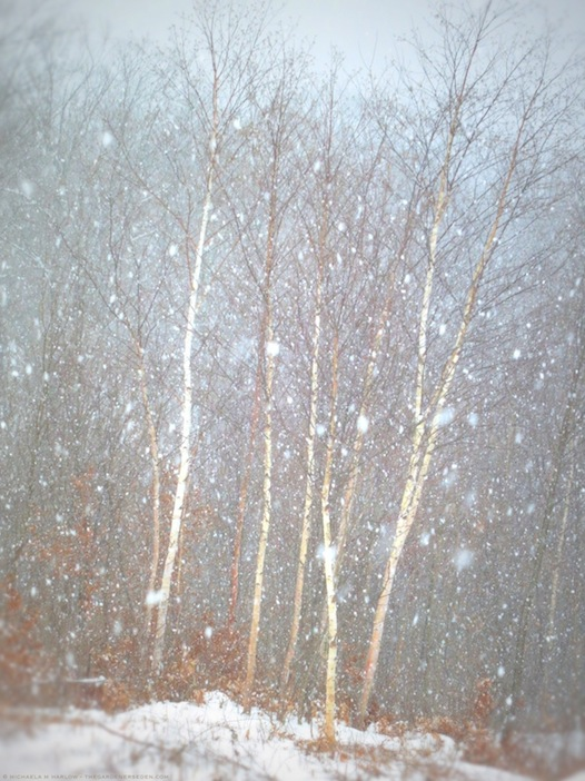 let it snow, let it snow, let it snow - copyright 2013 michaela medina harlow - thegardenerseden.com