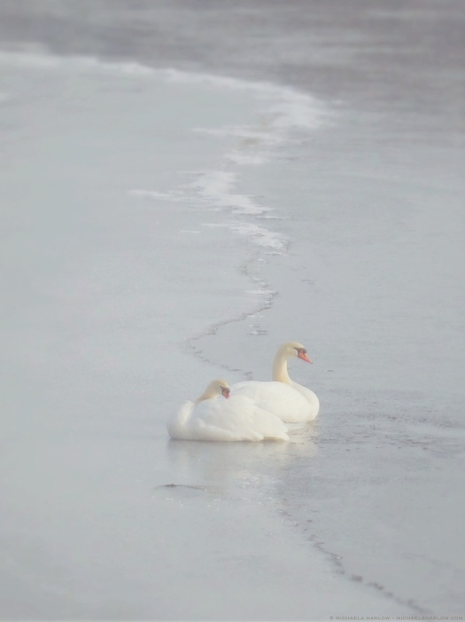 pair_of_swans_huddled_on_ice_copyright_michaela_medina_harlow_thegardenerseden.com